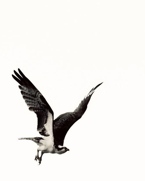 Bird of Prey - Lake Murray, San Diego